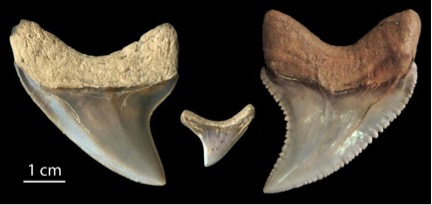photo of three fossil shark teeth